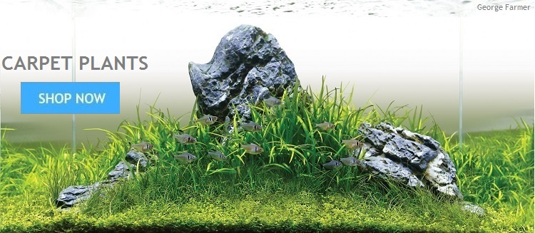 Aquarium Plants From Aquarium Gardens UK | Live Aquatic Tropical Tank Plants