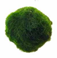 Aquarium Moss Ball - Chladophlora